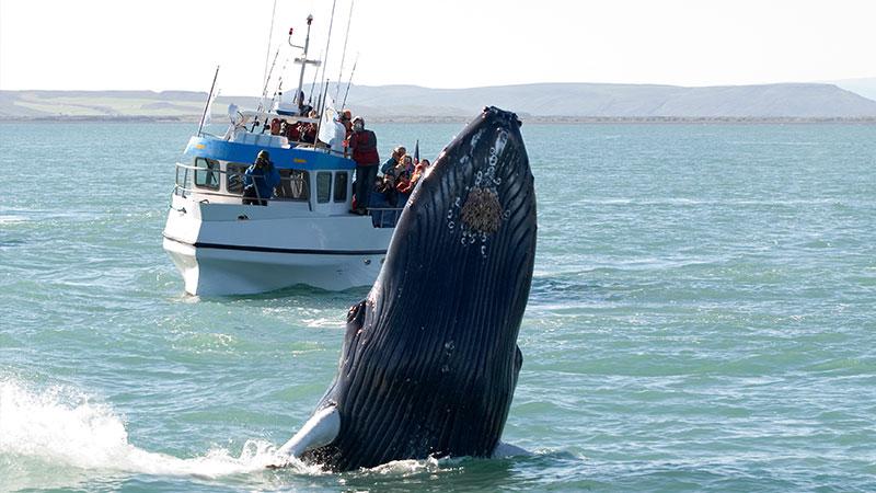 hvaler på island